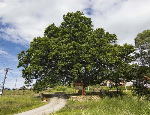 Prastarý dub z nášho regiónu je ašpirantom na titul Strom roka!